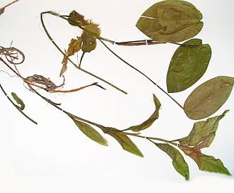 Potamogeton pulcher