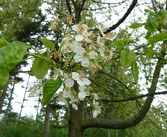 Prunus X pugetensis