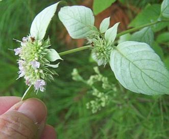 Pycnanthemum pycnanthemoides