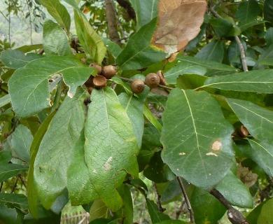 Quercus castanea