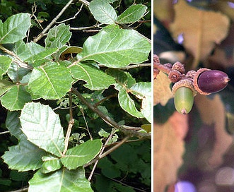 Quercus crassifolia