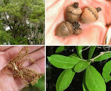Quercus hemisphaerica