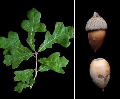 Quercus similis