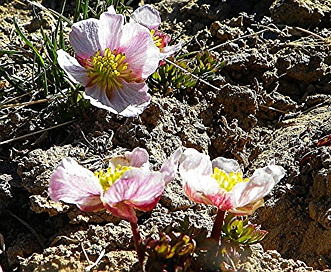 Ranunculus andersonii