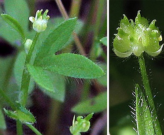 Ranunculus hebecarpus
