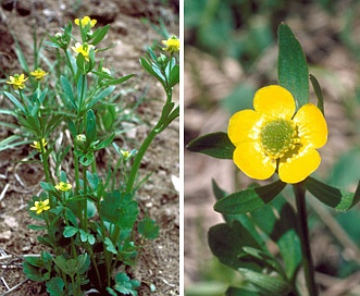 Ranunculus inamoenus