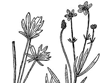 Ranunculus pedatifidus