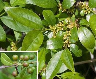 Rhamnus lanceolata