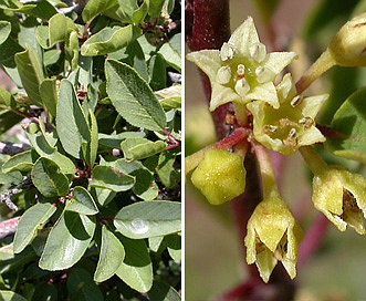 Rhamnus rubra
