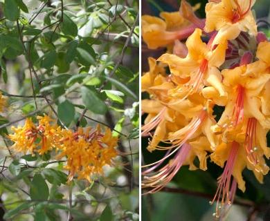Rhododendron austrinum