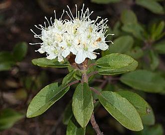 Rhododendron columbianum