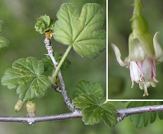 Ribes oxyacanthoides