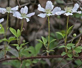 Rubus trivialis
