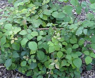 Rubus vestitus