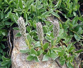 Salix petrophila