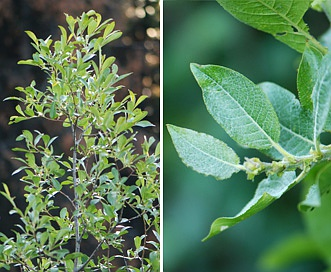 Salix tweedyi