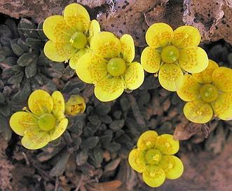 Saxifraga chrysantha