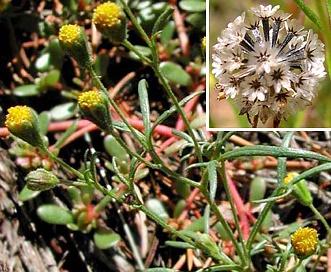 Schkuhria multiflora