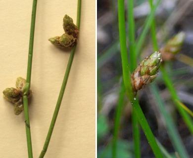 Schoenoplectus smithii