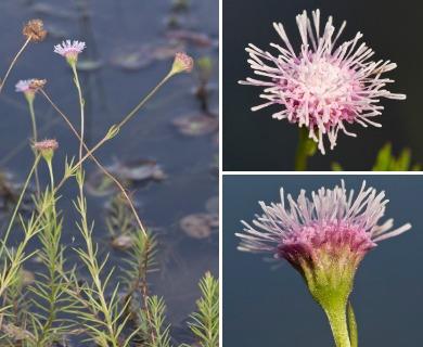 Sclerolepis uniflora