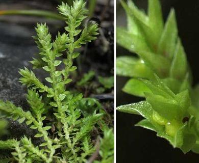 Selaginella eclipes
