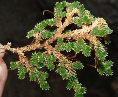 Selaginella eremophila