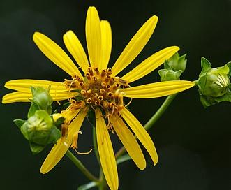 Silphium trifoliatum