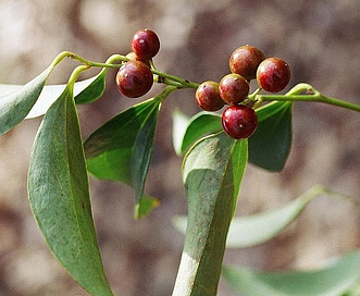 Smilax smallii