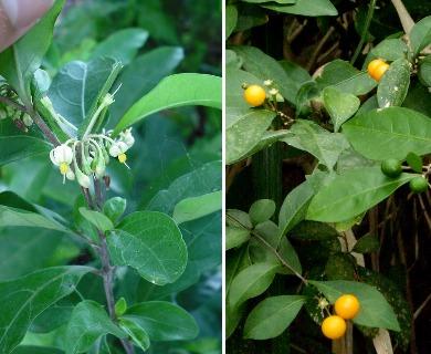 Solanum diphyllum
