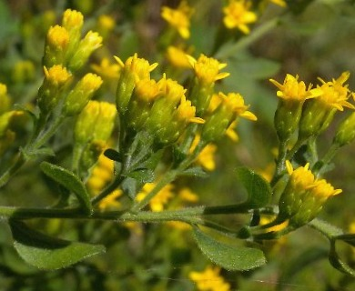 Solidago drummondii