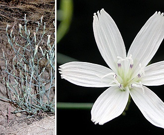 Stephanomeria malheurensis