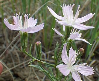 Stephanomeria runcinata