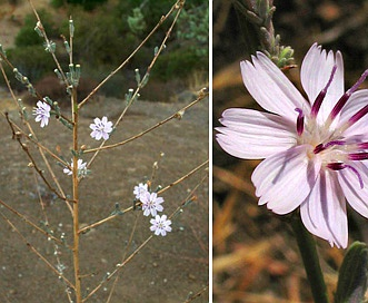 Stephanomeria virgata