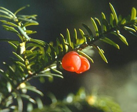 Taxus canadensis