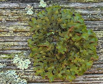 Tuckermannopsis ciliaris