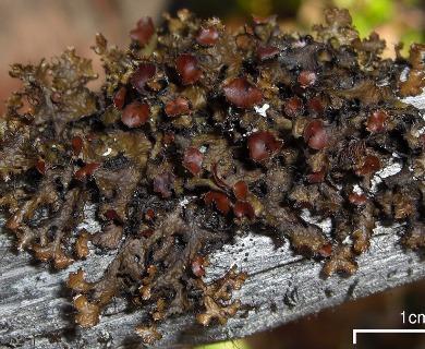 Tuckermannopsis orbata