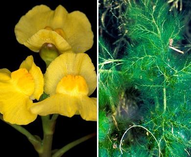 Utricularia foliosa