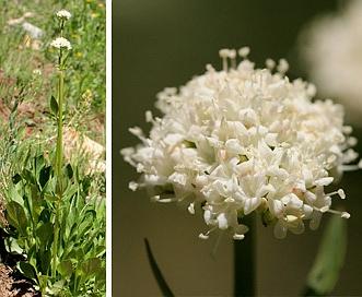 Valeriana occidentalis