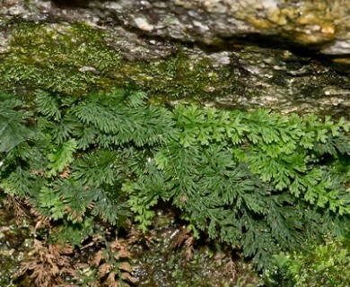 Vandenboschia boschiana