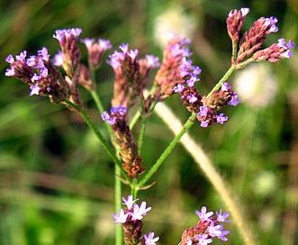Verbena brasiliensis