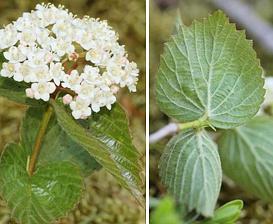 Viburnum rafinesqueanum