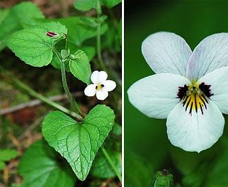 Viola ocellata