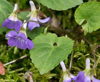 Viola selkirkii