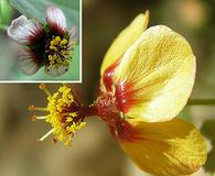 Abutilon incanum
