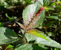 Acalypha phleoides