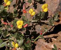 Acmispon oroboides