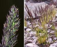 Agrostis variabilis