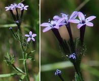 Allophyllum divaricatum