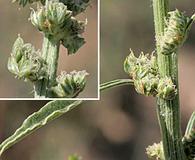 Amaranthus arenicola