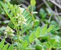 Astragalus americanus